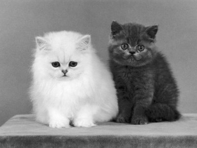 10175485-FB~Two-Kittens-One-a-White-Chinchilla-the-Other-a-British-Shorthair-Blue-Posters